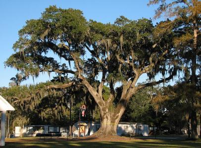 Back Brusly Oak - West Baton Rouge Louisiana